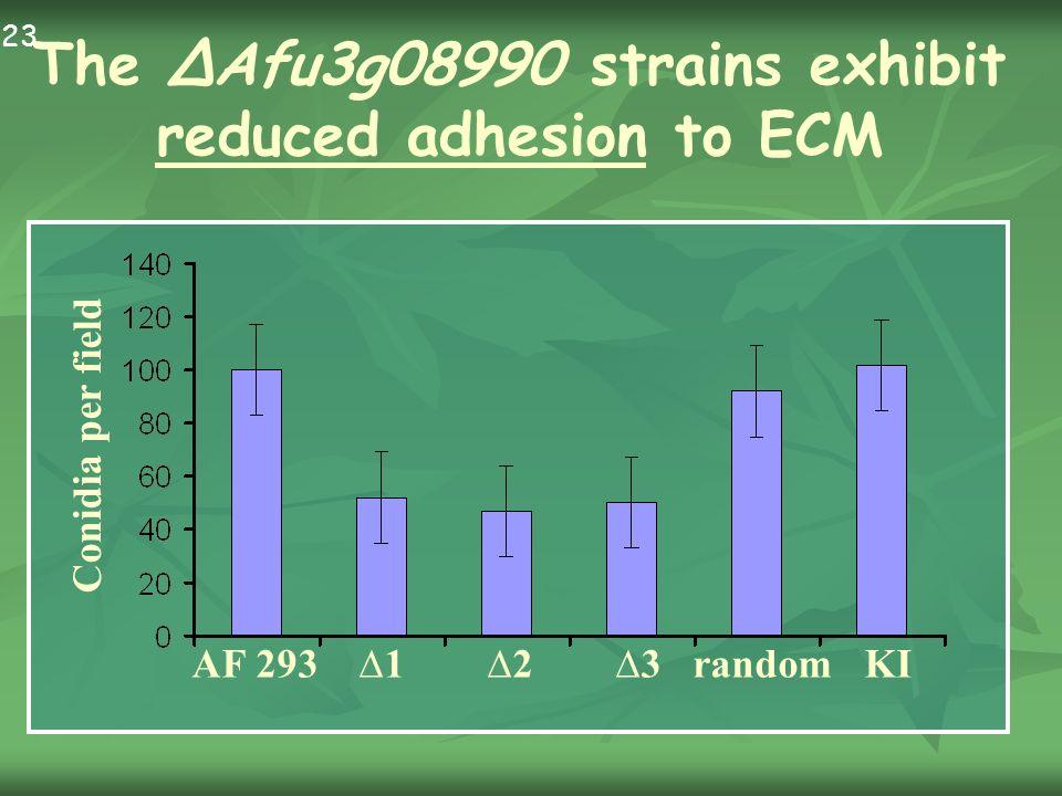 AF 293 1 2 3 random KI Conidia per field The Afu3g08990 strains exhibit reduced adhesion to ECM 23.