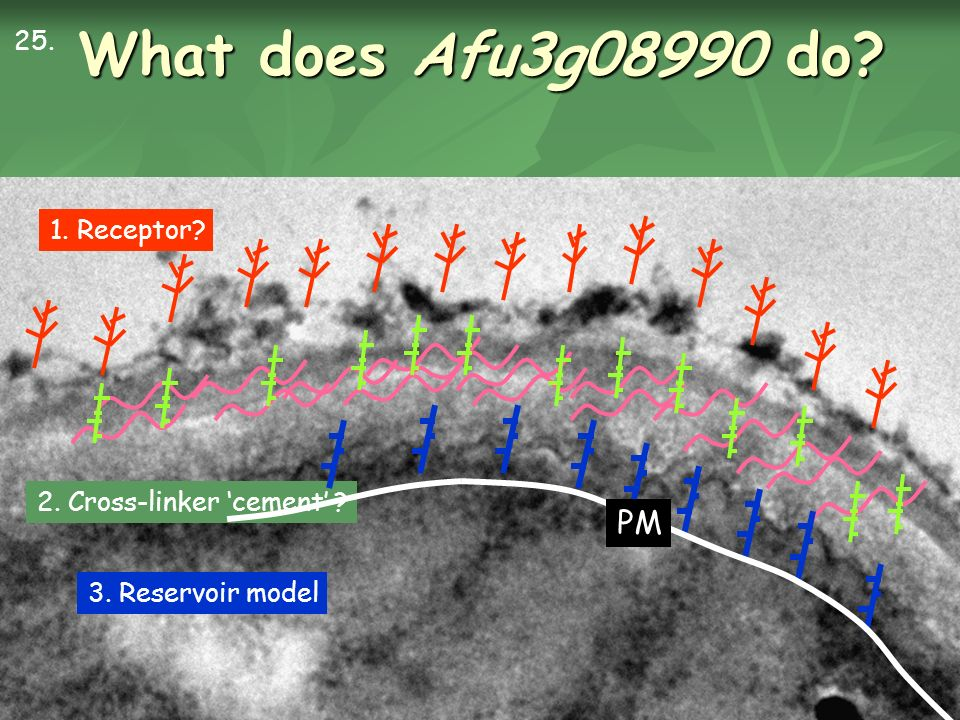 What does Afu3g08990 do 1. Receptor 2. Cross-linker cement 25. PM 3. Reservoir model