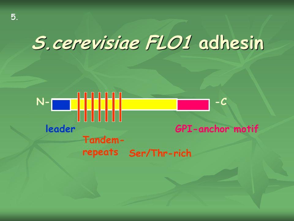 S.cerevisiae FLO1 adhesin leaderGPI-anchor motif N--C Ser/Thr-rich Tandem- repeats 5.