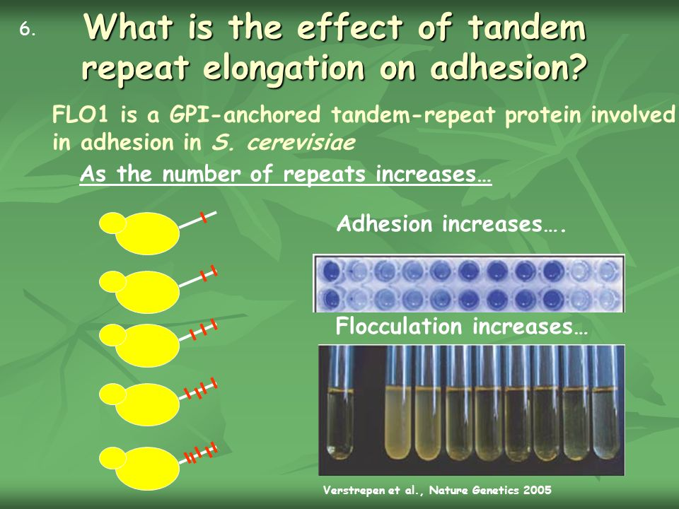 What is the effect of tandem repeat elongation on adhesion? FLO1 is a GPI-anchored tandem-repeat protein involved in adhesion in S. cerevisiae Adhesio