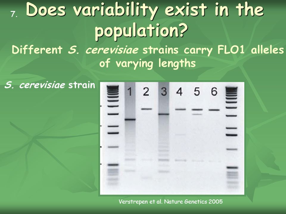 Does variability exist in the population? Different S. cerevisiae strains carry FLO1 alleles of varying lengths S. cerevisiae strain 7. Verstrepen et