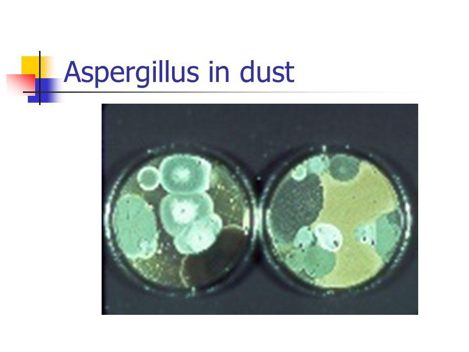 Aspergillus in dust