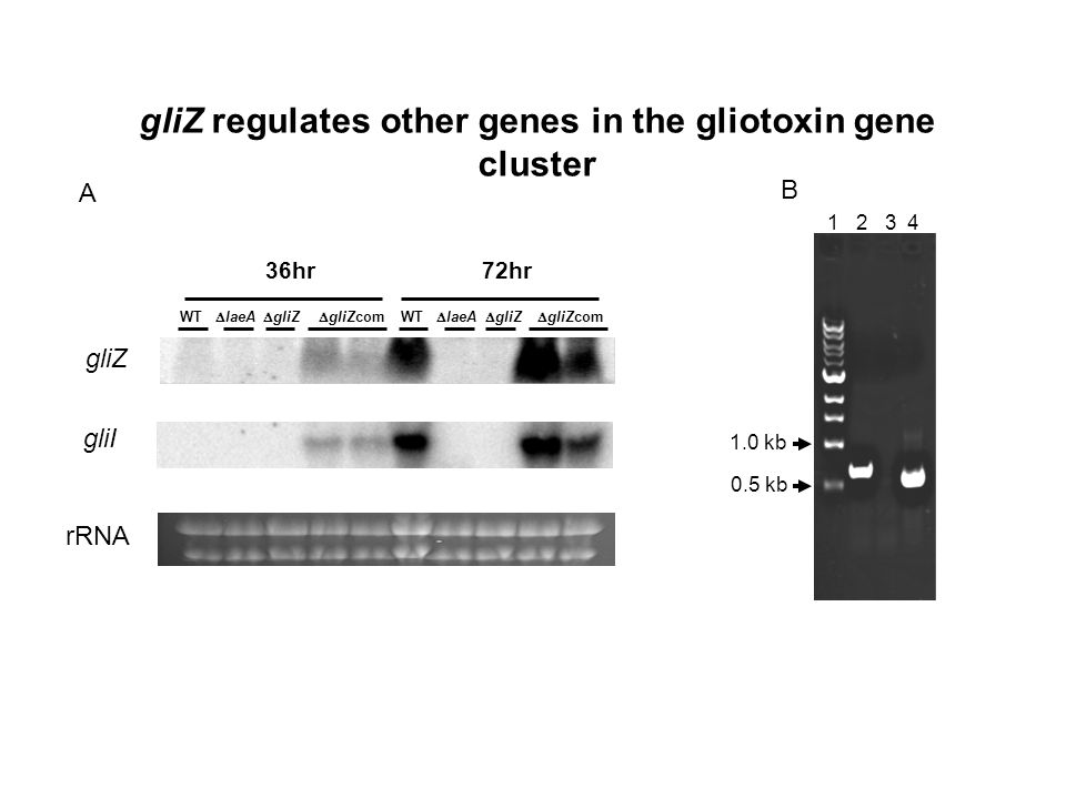 gliZ regulates other genes in the gliotoxin gene cluster gliZ rRNA 36hr 72hr WT laeA gliZ gliZcom gliI A B 0.5 kb 1.0 kb 1 2 3 4