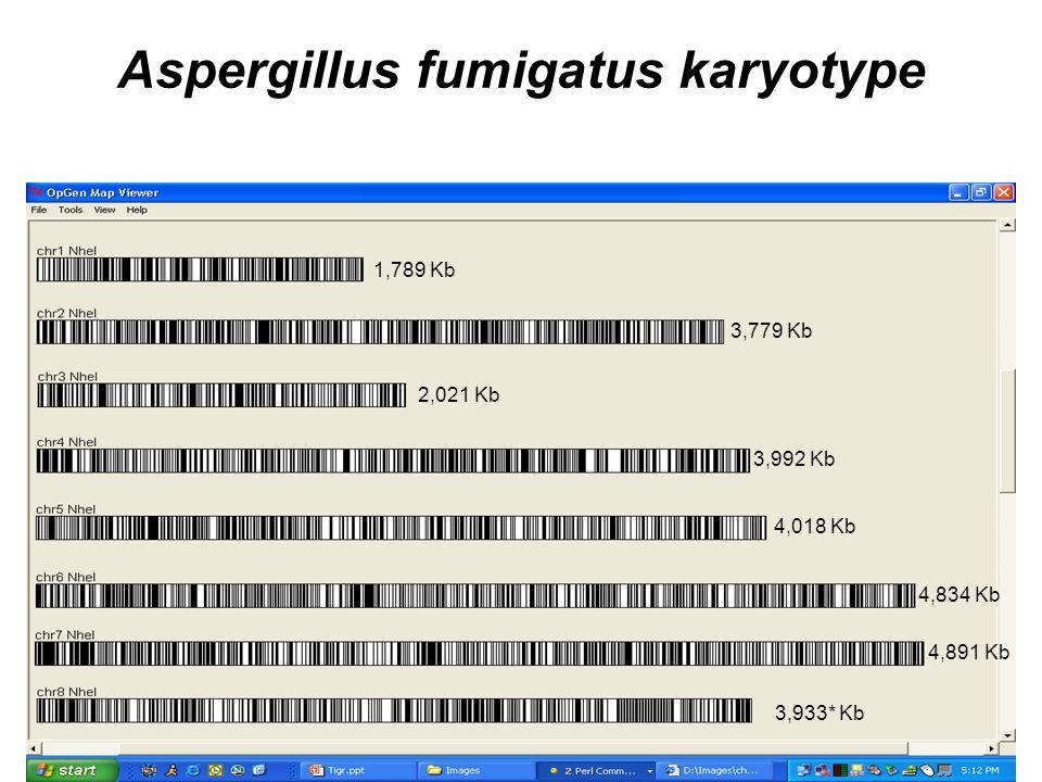 Aspergillus fumigatus karyotype 1,789 Kb 3,779 Kb 2,021 Kb 3,992 Kb 4,018 Kb 4,834 Kb 4,891 Kb 3,933* Kb