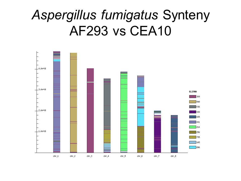 Aspergillus fumigatus Synteny AF293 vs CEA10