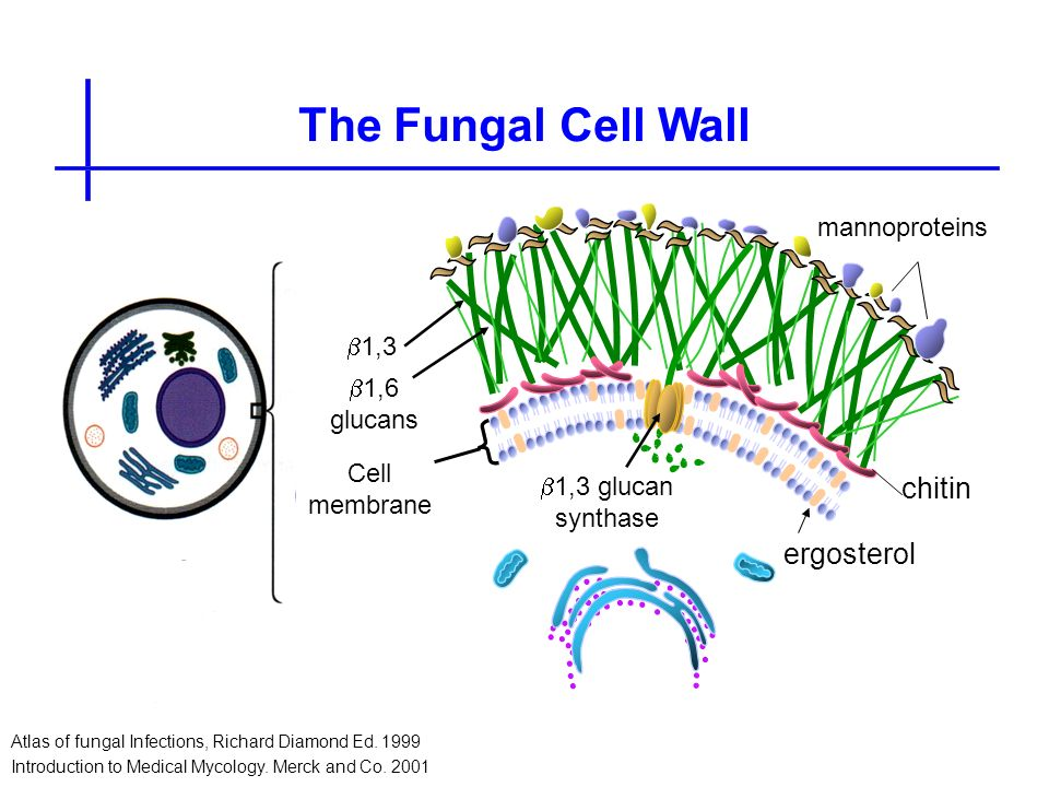 The Fungal Cell Wall Atlas of fungal Infections, Richard Diamond Ed. 1999 Introduction to Medical Mycology. Merck and Co. 2001