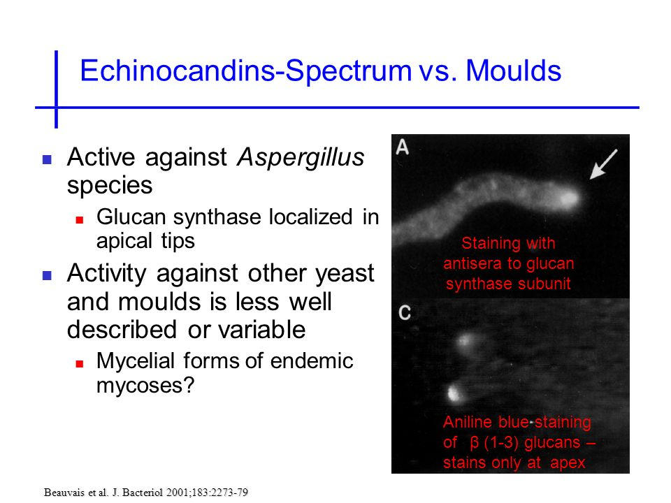 Echinocandins-Spectrum vs. Moulds Staining with antisera to glucan synthase subunit (Fks1p) Active against Aspergillus species Glucan synthase localiz