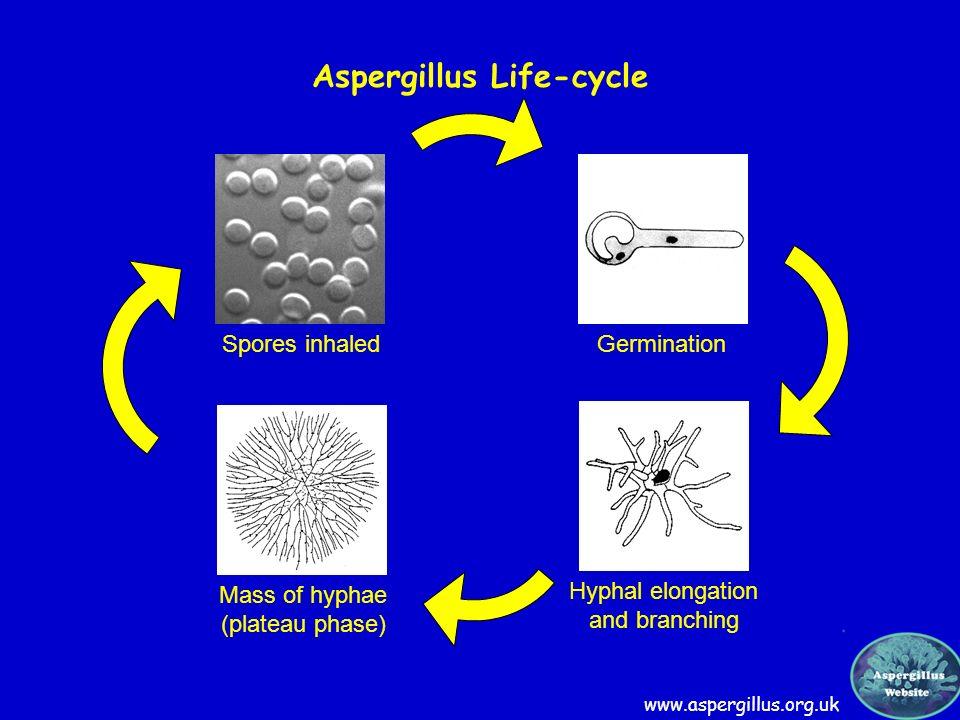 Spores inhaled Germination Mass of hyphae (plateau phase) Hyphal elongation and branching Aspergillus Life-cycle www.aspergillus.org.uk