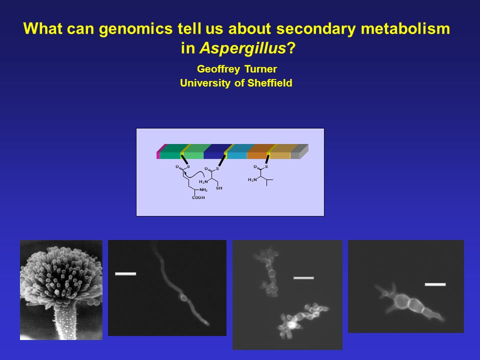 What can genomics tell us about secondary metabolism in Aspergillus? Geoffrey Turner University of Sheffield