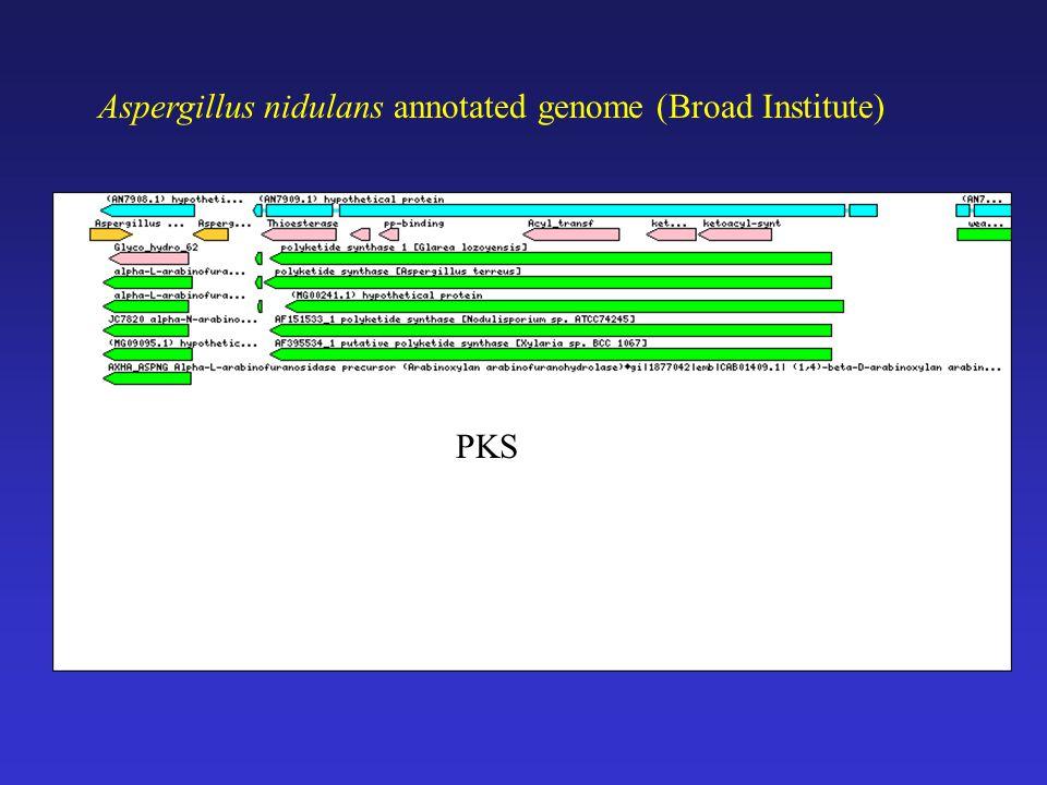 Aspergillus nidulans annotated genome (Broad Institute) PKS