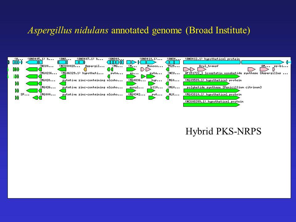 Aspergillus nidulans annotated genome (Broad Institute) Hybrid PKS-NRPS