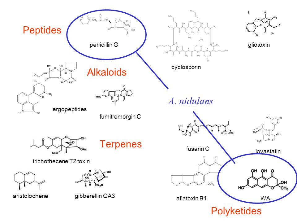 gibberellin GA3 penicillin G fusarin C lovastatin aristolochene gliotoxin H fumitremorgin C cyclosporin ergopeptides aflatoxin B1WA trichothecene T2 toxin Peptides Polyketides Terpenes Alkaloids A.