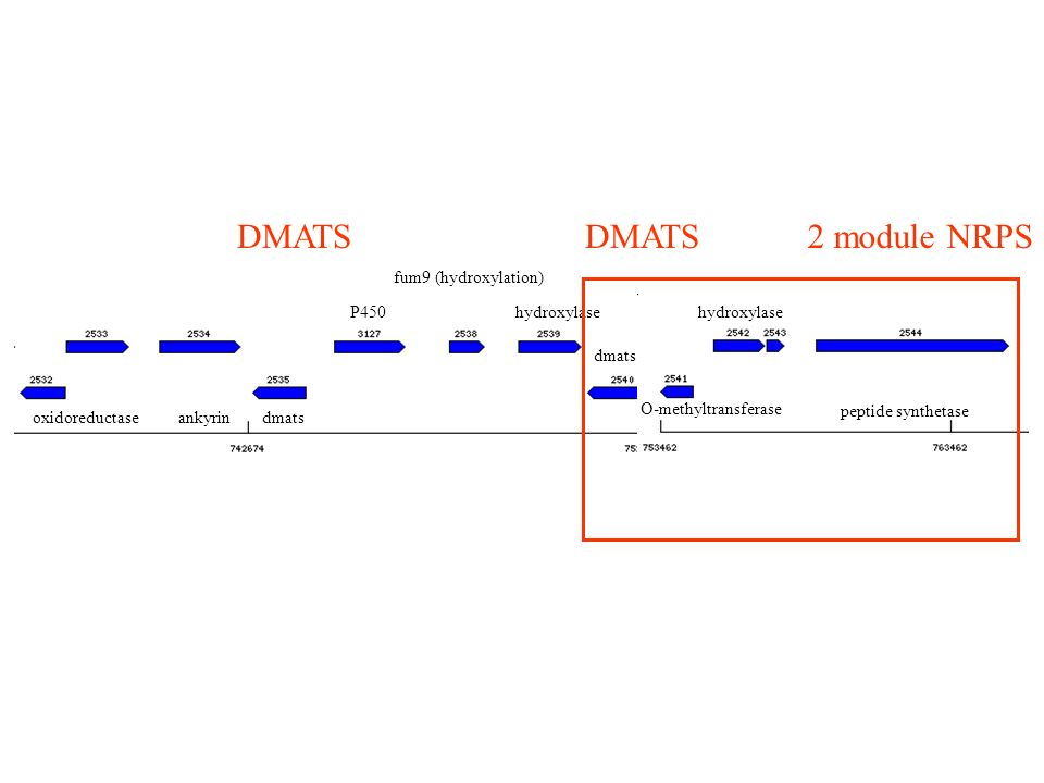 oxidoreductaseankyrindmats P450hydroxylase dmats O-methyltransferase hydroxylase peptide synthetase fum9 (hydroxylation) 2 module NRPSDMATS