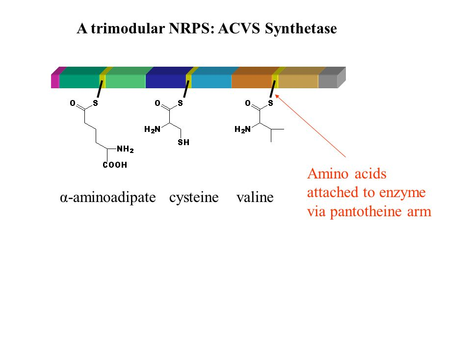 adenylationN-methylationthioester formation ACV synthetase Cyclosporin synthetase Non-ribosomal peptide synthetase (NRPS): large multifunctional enzymes with a modular structure - One module per amino acid Recent record: Peptaibol synthetase: 18 modules Trichoderma virens (Kenerly 2002)2.3 Mda