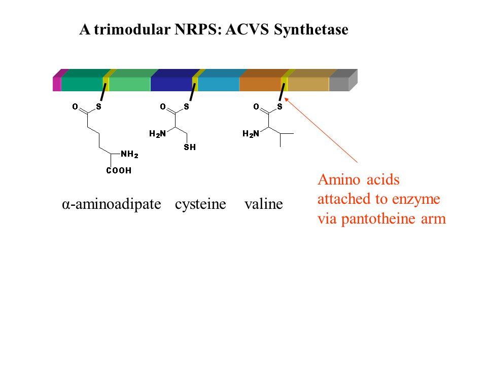 A trimodular NRPS: ACVS Synthetase Amino acids attached to enzyme via pantotheine arm α-aminoadipate cysteine valine