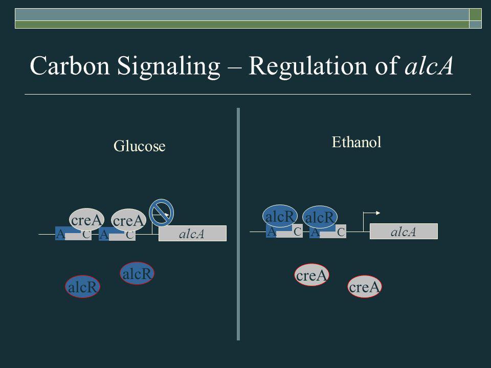 Carbon Signaling – Regulation of alcA alcA A C A C creA alcR creA alcA A C A C alcR Glucose Ethanol