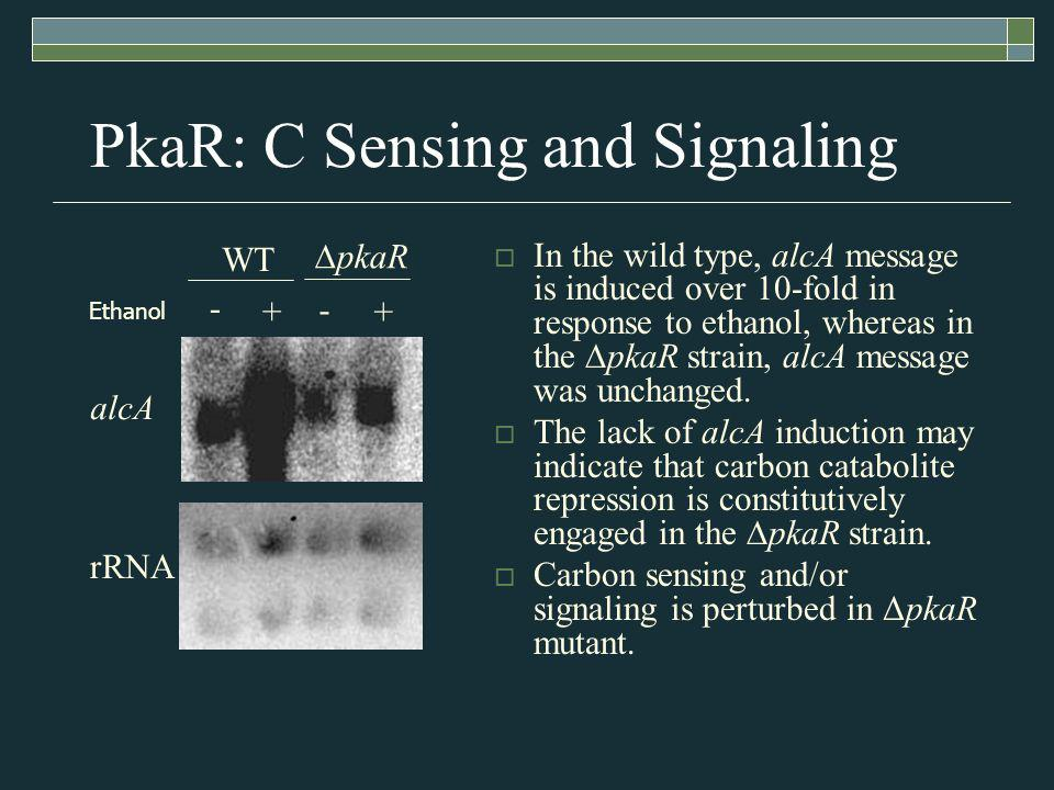 PkaR: C Sensing and Signaling In the wild type, alcA message is induced over 10-fold in response to ethanol, whereas in the pkaR strain, alcA message was unchanged.