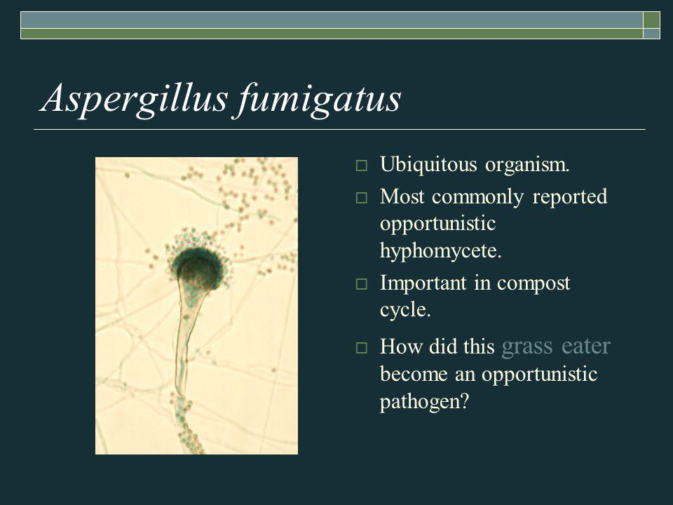 Aspergillus fumigatus Ubiquitous organism. Most commonly reported opportunistic hyphomycete.