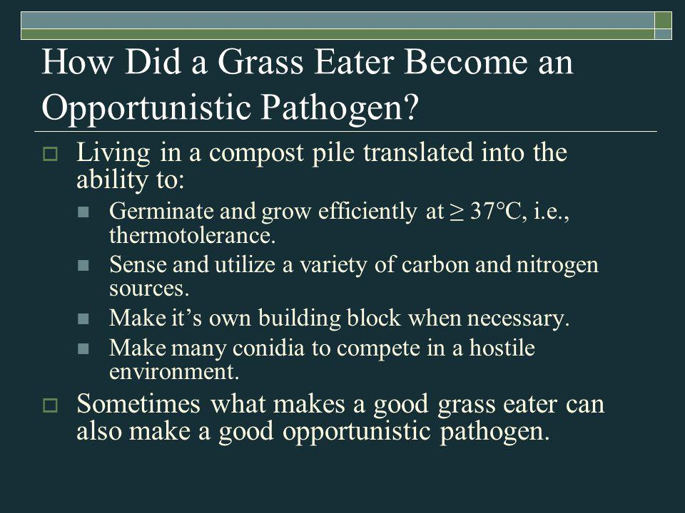 How Did a Grass Eater Become an Opportunistic Pathogen.