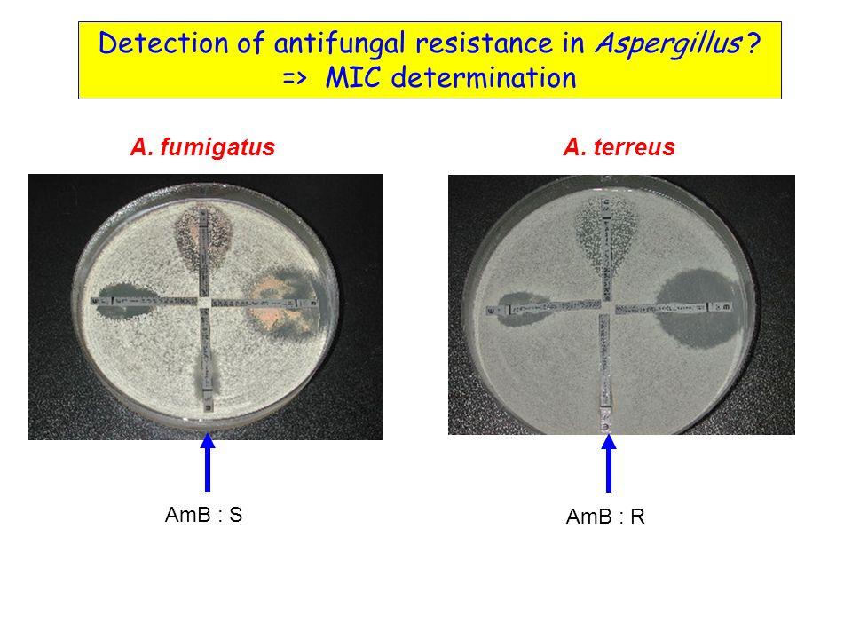 A.fumigatusA. terreus AmB : S AmB : R Detection of antifungal resistance in Aspergillus .
