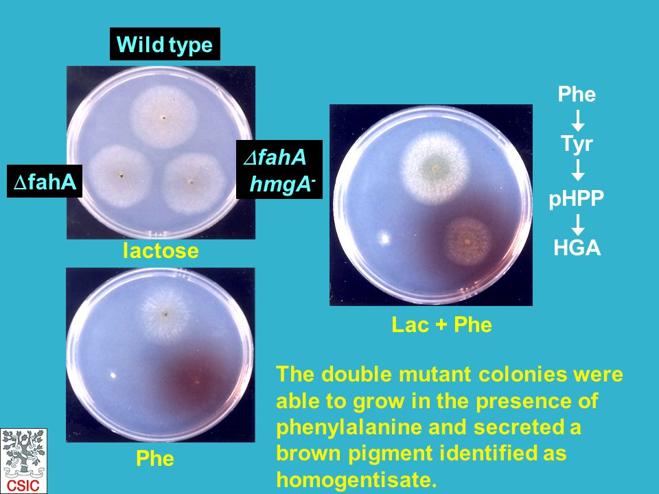 Lac + Phe lactose Phe fahA Wild type fahA hmgA - Phe Tyr pHPP HGA MAA FAA F + AcAc The double mutant colonies were able to grow in the presence of phenylalanine and secreted a brown pigment identified as homogentisate.