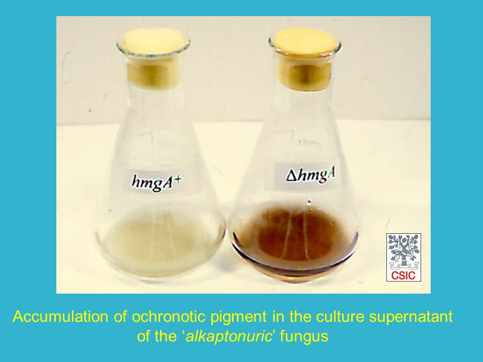 Accumulation of ochronotic pigment in the culture supernatant of the alkaptonuric fungus