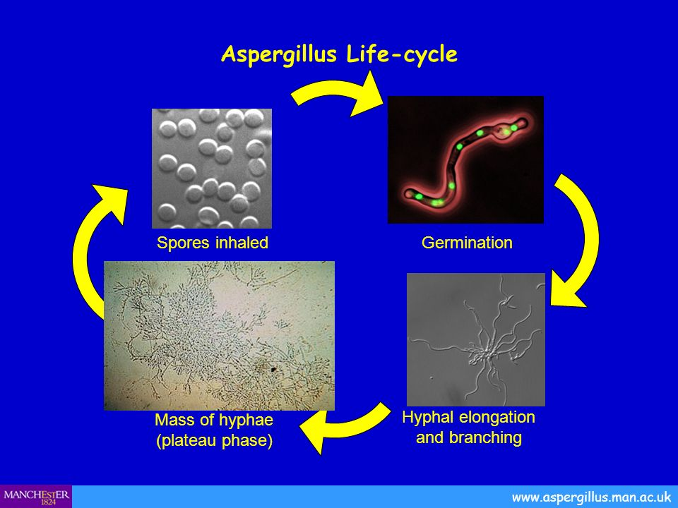 Spores inhaled Aspergillus Life-cycle www.aspergillus.man.ac.uk Hyphal elongation and branching Germination Mass of hyphae (plateau phase)