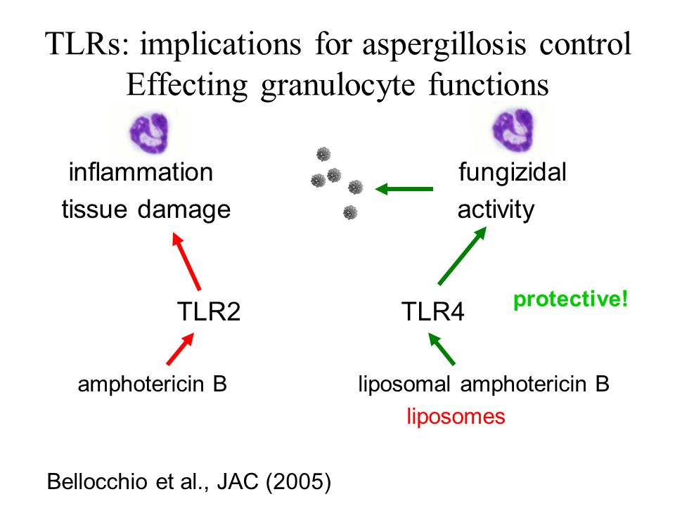 TLRs: implications for aspergillosis control Effecting granulocyte functions inflammation fungizidal tissue damage activity TLR2 TLR4 amphotericin B liposomal amphotericin B liposomes Bellocchio et al., JAC (2005) protective!
