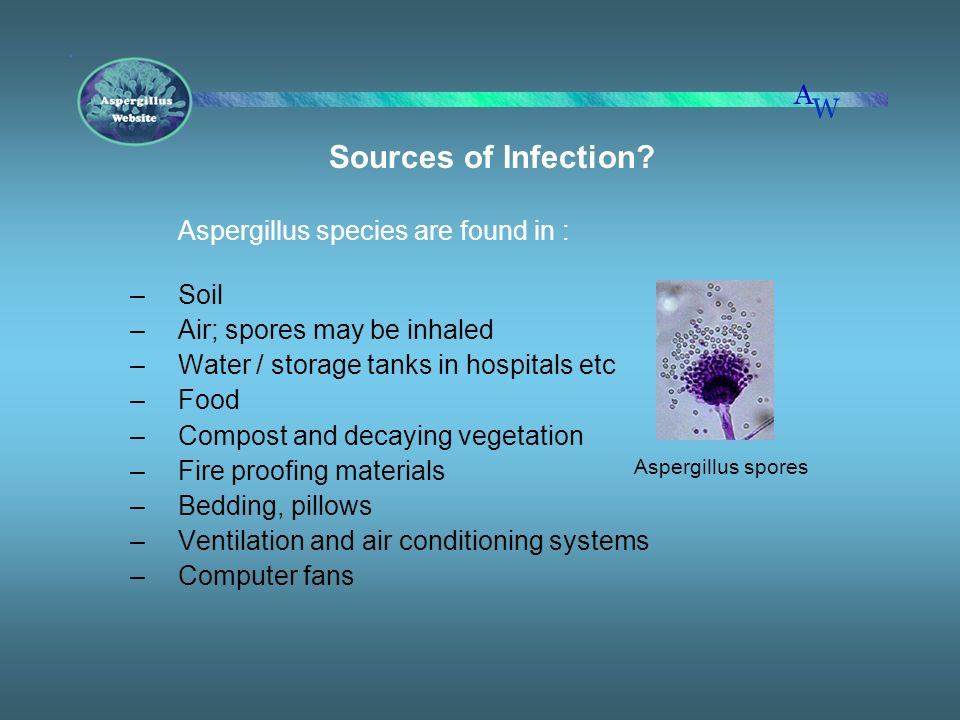 Sources of Infection? Aspergillus species are found in : –Soil –Air; spores may be inhaled –Water / storage tanks in hospitals etc –Food –Compost and