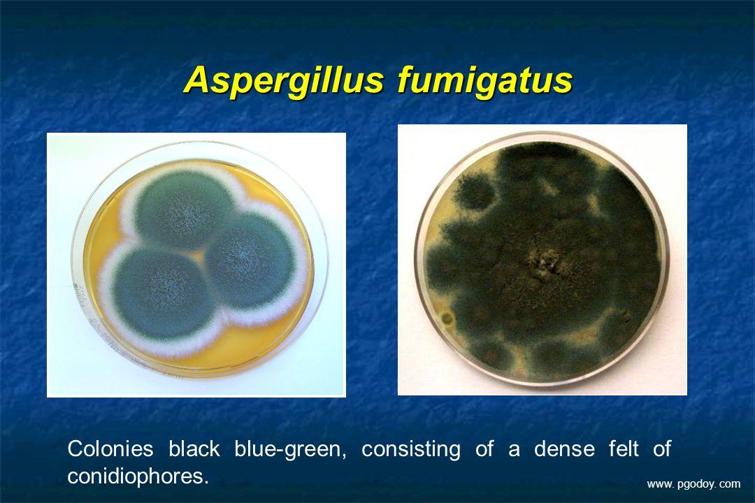 Aspergillus fumigatus Colonies black blue-green, consisting of a dense felt of conidiophores. www. pgodoy. com