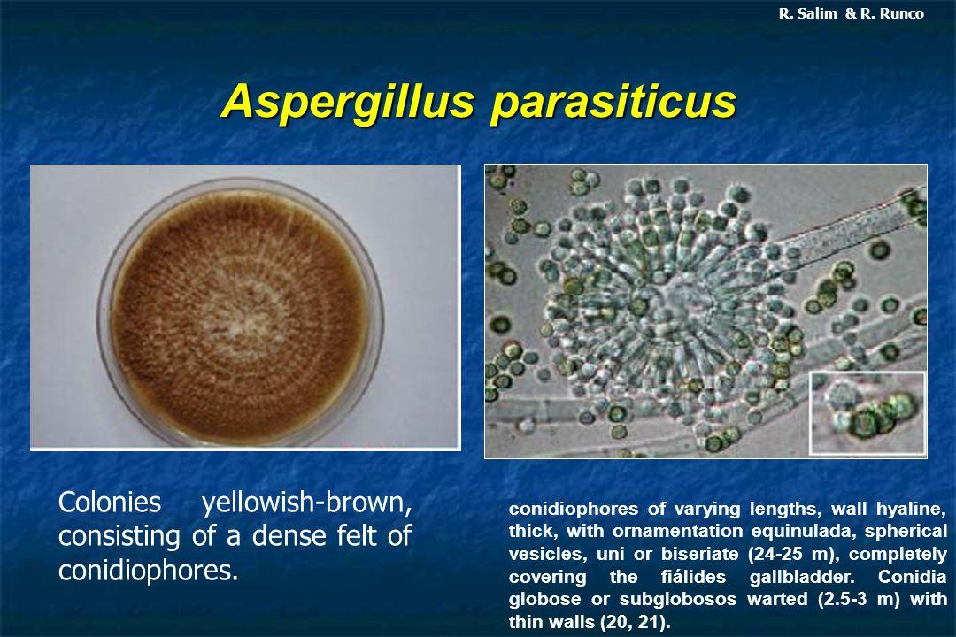 Aspergillus parasiticus R. Salim & R. Runco Colonies yellowish-brown, consisting of a dense felt of conidiophores. conidiophores of varying lengths, w