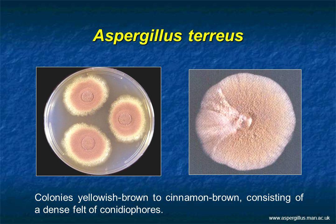 Aspergillus terreus Colonies yellowish-brown to cinnamon-brown, consisting of a dense felt of conidiophores. www.aspergillus.man.ac.uk