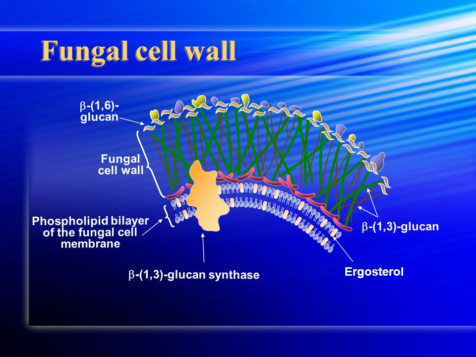 Phospholipid bilayer of the fungal cell membrane Fungal cell wall -(1,3)-glucan -(1,6)- glucan -(1,3)-glucan synthase Ergosterol Fungal cell wall