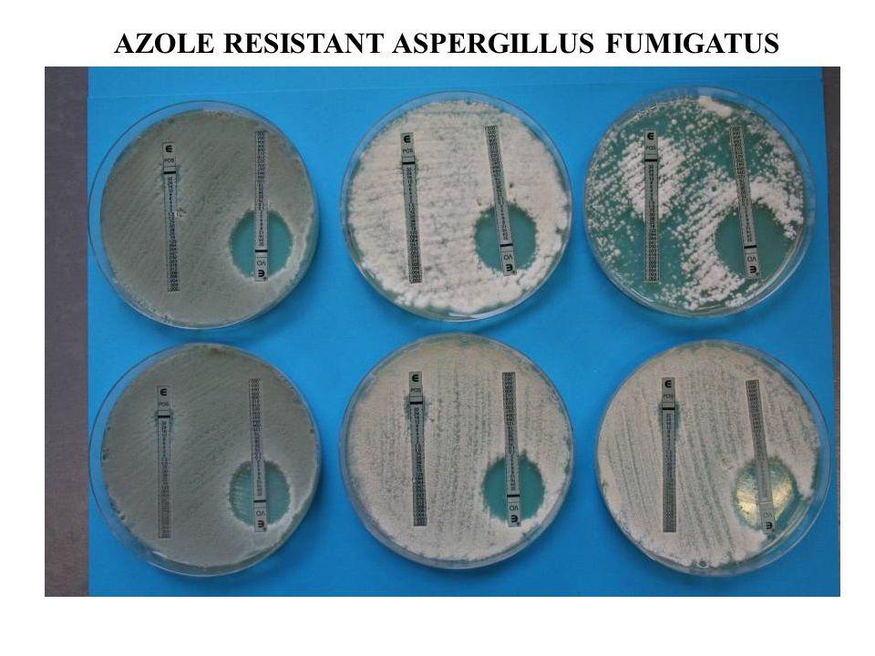 AZOLE RESISTANT ASPERGILLUS FUMIGATUS