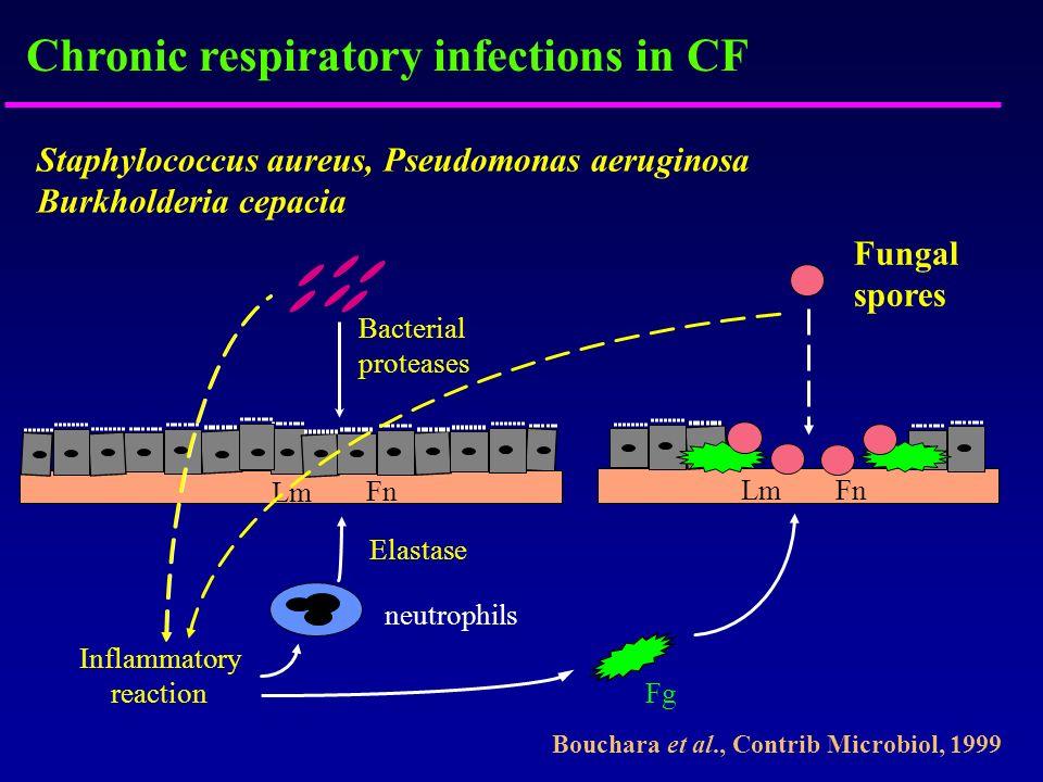 Chronic respiratory infections in CF Staphylococcus aureus, Pseudomonas aeruginosa Burkholderia cepacia Lm Fn Fg Fungal spores neutrophils Inflammator