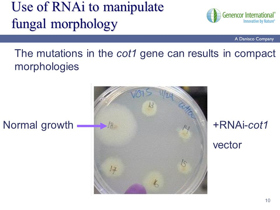 10 Use of RNAi to manipulate fungal morphology +RNAi-cot1 vector Normal growth The mutations in the cot1 gene can results in compact morphologies
