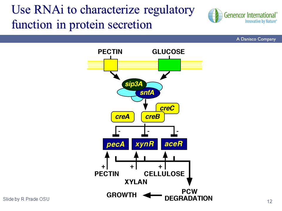 12 Use RNAi to characterize regulatory function in protein secretion Slide by R Prade OSU