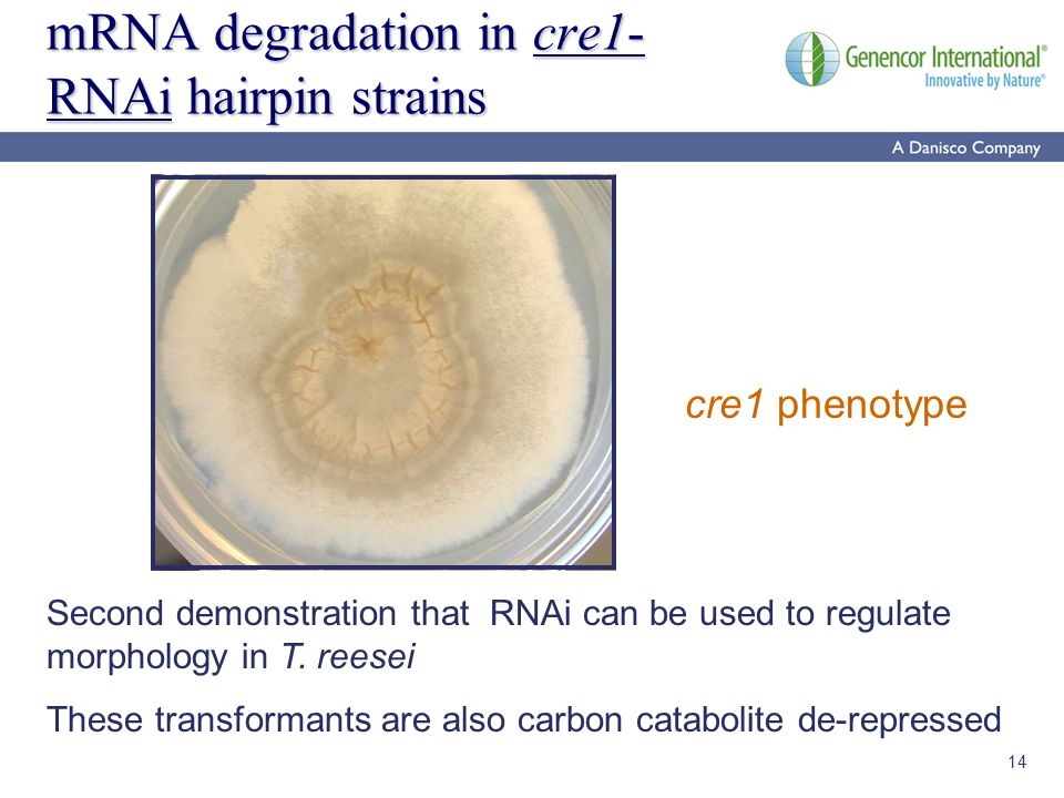 14 mRNA degradation in cre1- RNAi hairpin strains cre1 phenotype Second demonstration that RNAi can be used to regulate morphology in T. reesei These