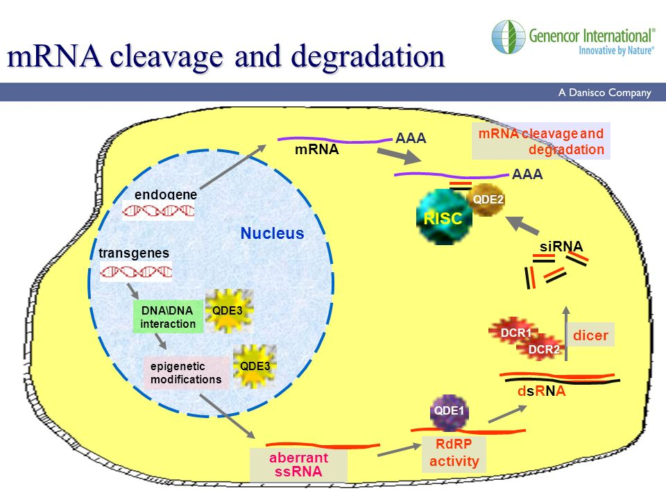 20 mRNA cleavage and degradation transgenes Nucleus endogene epigenetic modifications QDE3 DNA\DNA interaction QDE3 aberrant ssRNA mRNA AAA RdRP activ