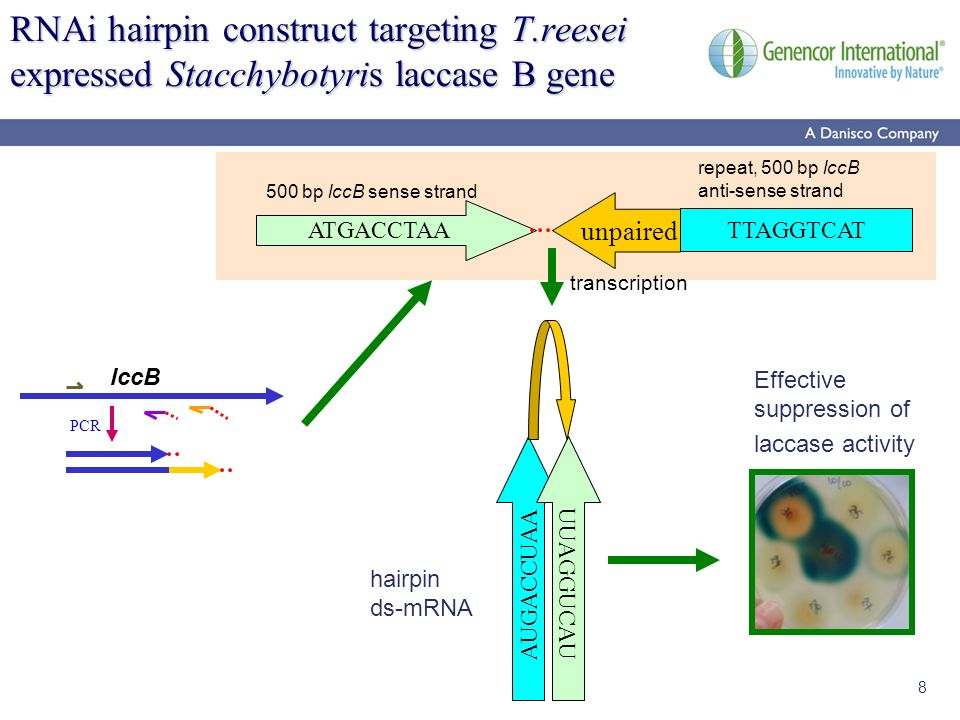8 RNAi hairpin construct targeting T.reesei expressed Stacchybotyris laccase B gene ATGACCTAA unpaired 500 bp lccB sense strand repeat, 500 bp lccB an