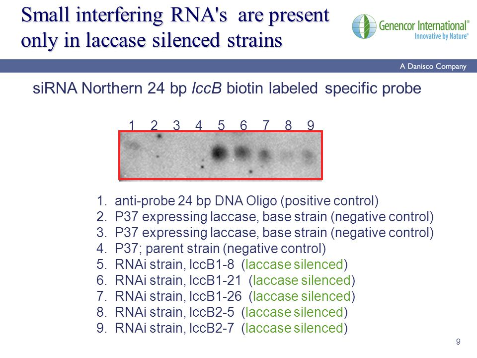 9 Small interfering RNA's are present only in laccase silenced strains siRNA Northern 24 bp lccB biotin labeled specific probe 1. anti-probe 24 bp DNA