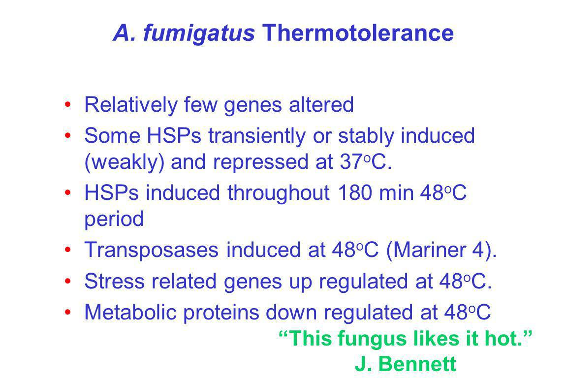 A. fumigatus Thermotolerance Relatively few genes altered Some HSPs transiently or stably induced (weakly) and repressed at 37 o C. HSPs induced throu
