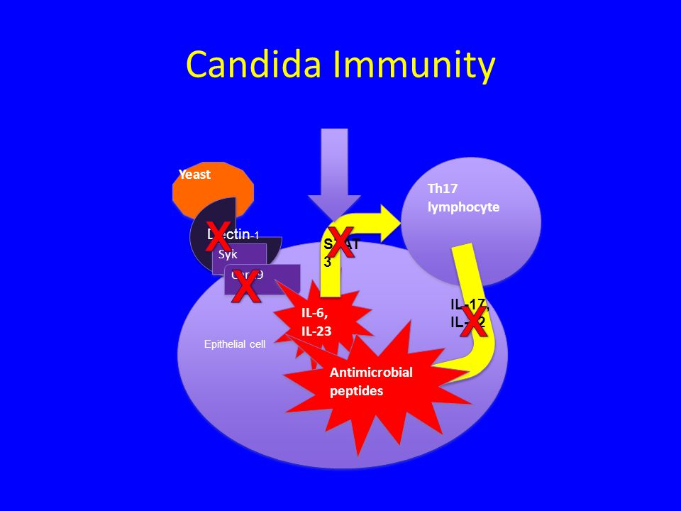 Candida Immunity Yeast Epithelial cell Dectin -1 Syk Card9 IL-6, IL-23 STAT 3 Th17 lymphocyte IL-17, IL-22 Antimicrobial peptides