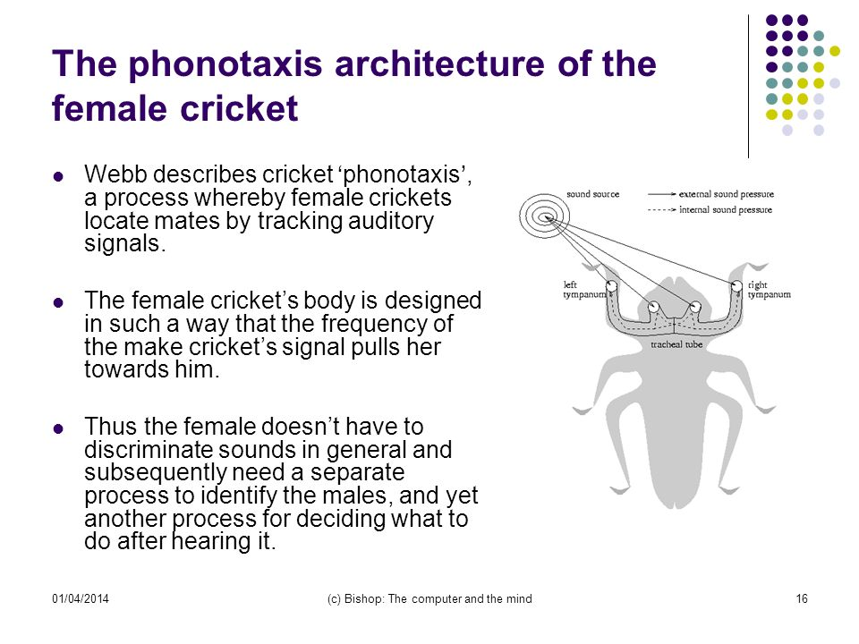 01/04/2014(c) Bishop: The computer and the mind16 The phonotaxis architecture of the female cricket Webb describes cricket phonotaxis, a process whereby female crickets locate mates by tracking auditory signals.