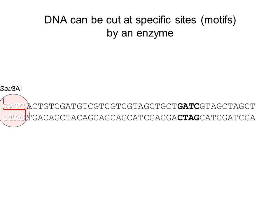 Sau3AI ACTGTCGATGTCGTCGTCGTAGCTGCTGATCGTAGCTAGCT TGACAGCTACAGCAGCAGCATCGACGACTAGCATCGATCGA DNA can be cut at specific sites (motifs) by an enzyme