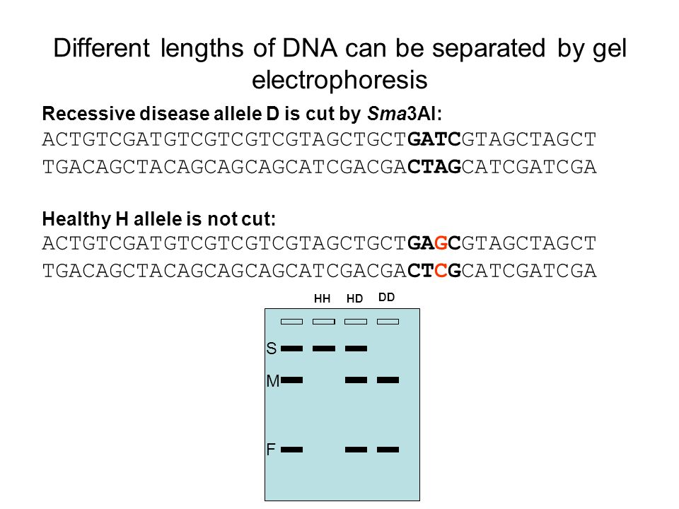 Different lengths of DNA can be separated by gel electrophoresis Recessive disease allele D is cut by Sma3AI: ACTGTCGATGTCGTCGTCGTAGCTGCTGATCGTAGCTAGC
