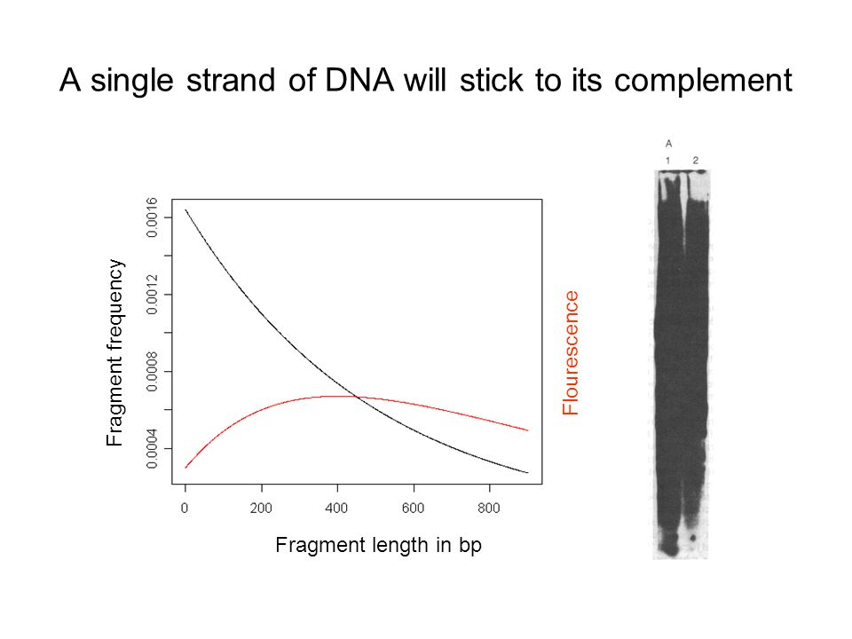 A single strand of DNA will stick to its complement Fragment length in bp Fragment frequency Flourescence
