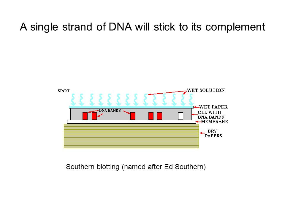 A single strand of DNA will stick to its complement Southern blotting (named after Ed Southern)