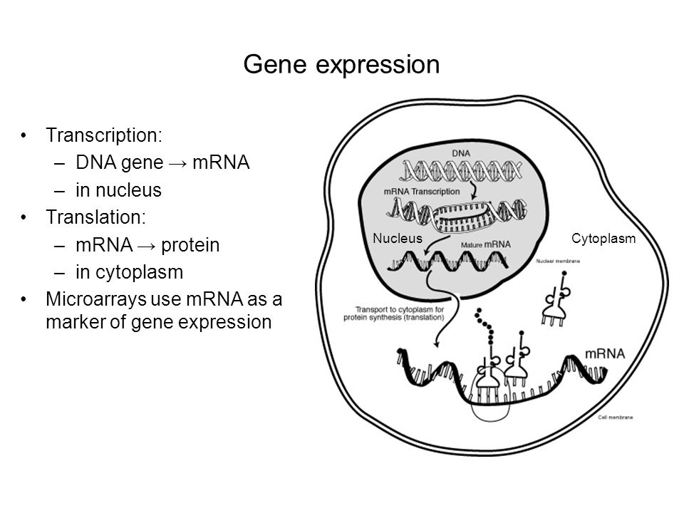 Gene expression Transcription: –DNA gene mRNA –in nucleus Translation: –mRNA protein –in cytoplasm Microarrays use mRNA as a marker of gene expression