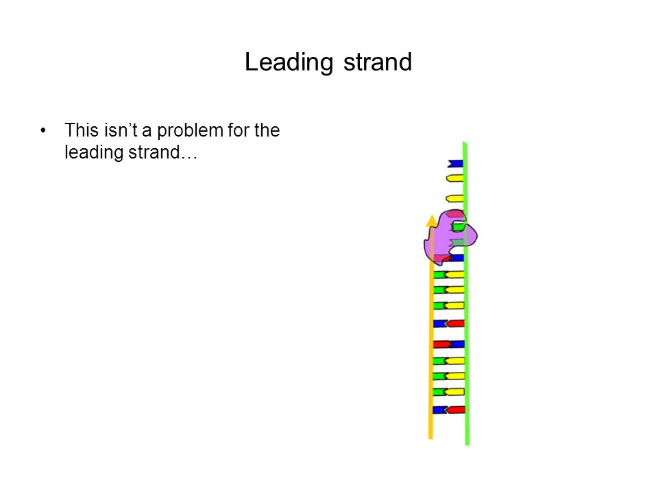 Leading strand This isnt a problem for the leading strand…